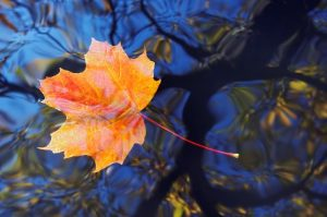 ClearLight Meditation Institute leaf-floating-300x199 Clear Mind, Open Heart: Joining Mindfulness with Loving Kindness