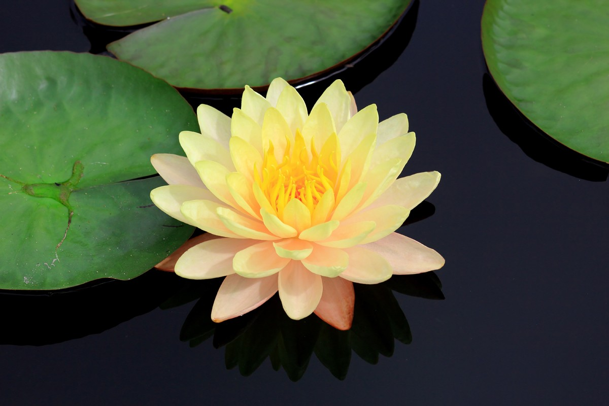 ClearLight Meditation Institute lotus-yellow-lotus_1200x800 Programs