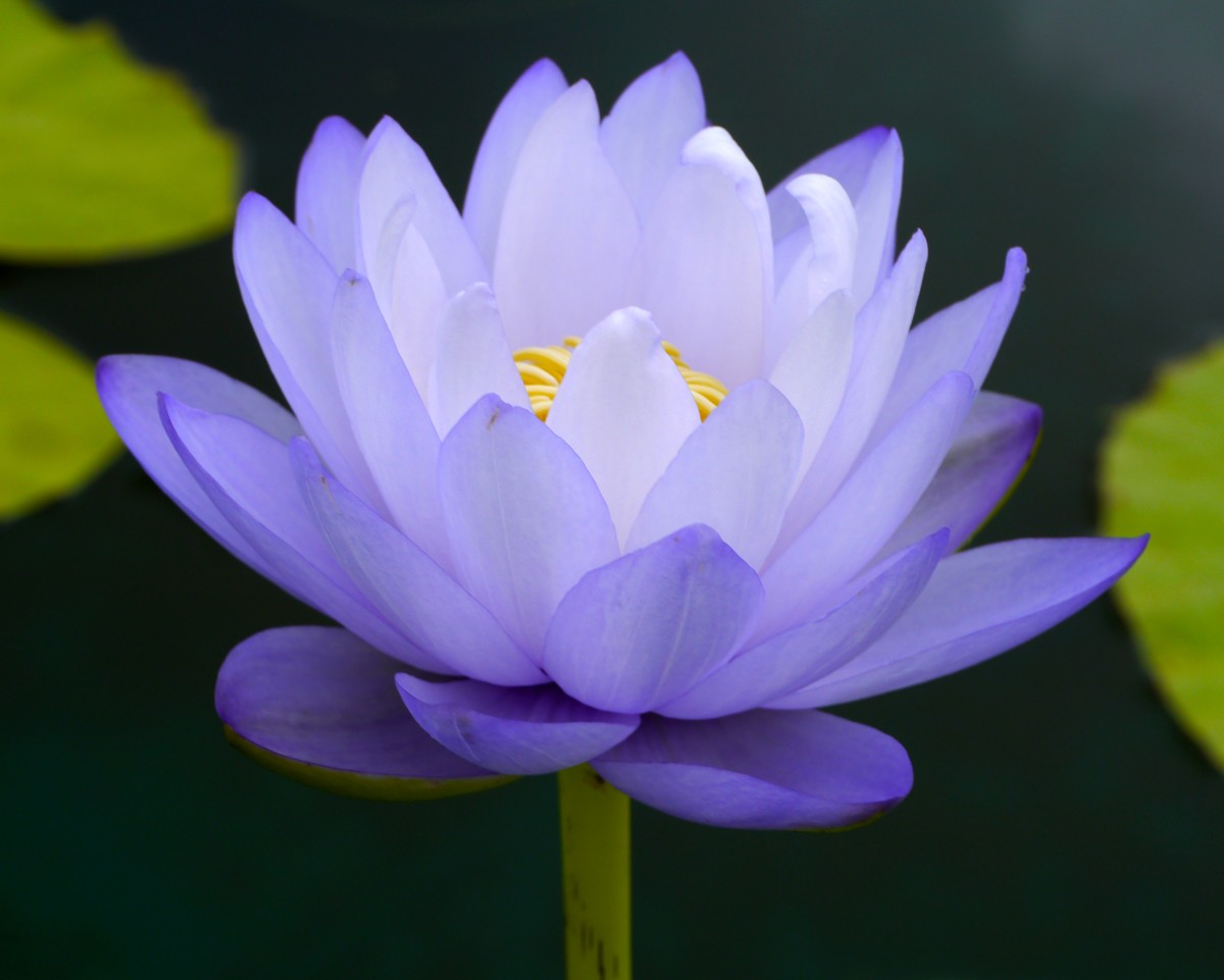 ClearLight Meditation Institute Purple-Lotus-clean_1200x961 Programs