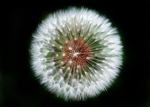 ClearLight Meditation Institute dandelion-head_1200x855-300x214 Awakened Compassionate Activity: The Way of the Bodhisattva